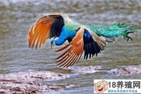蓝孔雀养殖技术要点 _禽类养殖(养孔雀的技巧)