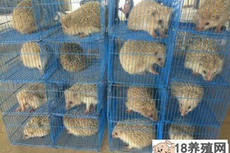 宠物刺猬吃什么活饵 _动物养殖(养刺猬的技巧)