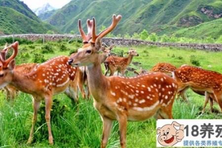 养鹿有什么风险? _动物养殖(养梅花鹿的技巧)