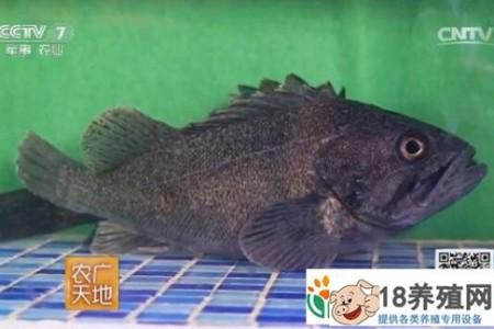 青岛黑鲭鱼网箱养殖和中华绒螯蟹公寓养殖的探索 _水产养殖(养河蟹的技巧)