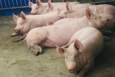 3月份生猪价格同比大幅下跌。分析师表示,自我修养已接近成本线