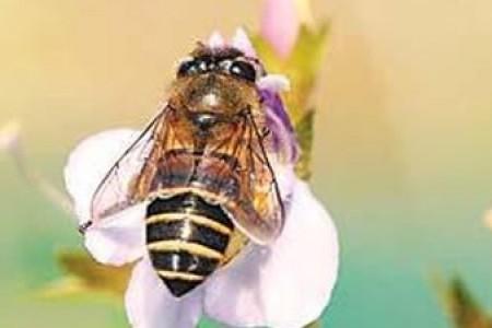 中国蜜蜂养殖需要注意什么?中国蜜蜂的繁育技术有哪些?
