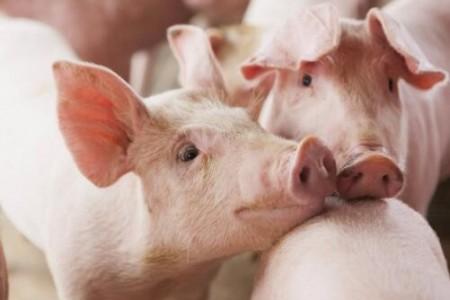 惊讶!生猪价格已经跌破了农民的心理防线