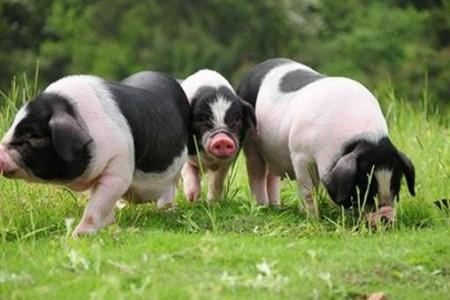 头孢菌素类抗生素在养猪中的临床应用