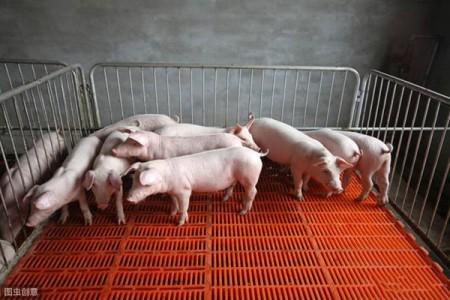 猪链球菌病很厉害,养猪的要慎重!