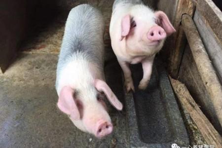 【经验贴】猪不吃东西一定要打针吗?