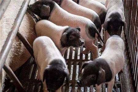 治疗猪疾病总有一个方法