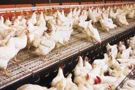 面对暴雨,肉鸡养殖场应该如何采取应急措施减少损失!