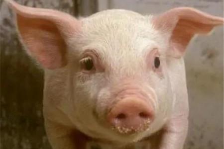 如何准确计算猪饮水的用量?