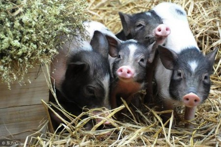 美国生猪市场的崩溃会导致国内生猪价格大幅上涨吗?为什么?
