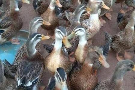 肉鸭半个月暴跌4.1元/斤!双探底15元/只肉鸭或迎来市场拐点