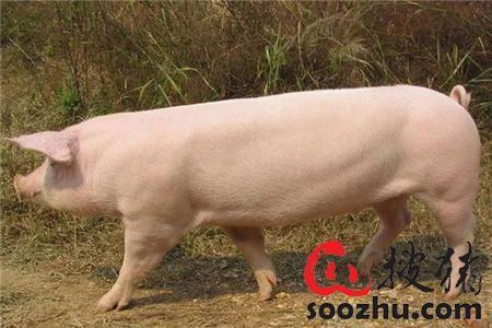 猪的行为!养猪一定要懂猪