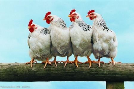 如何观察鸡