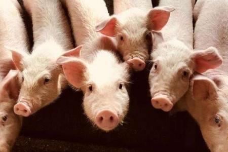 做好这四个方面,轻而易举的养好小母猪!