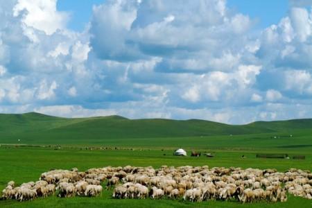 呼伦贝尔:绵羊,改变饲养方法