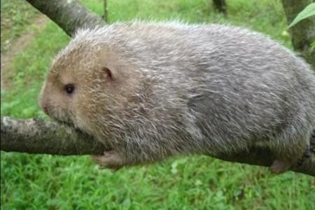 竹鼠的生活习性是怎样的?饲养竹鼠需要注意哪些问题?