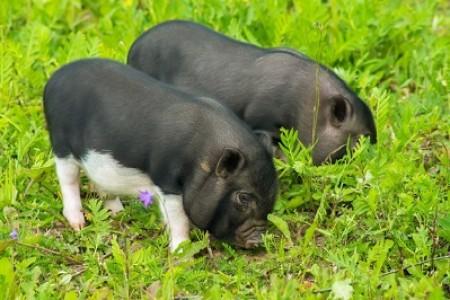 生猪价格已跌破4月9日的低位。5月生猪市场还能再翻身吗?