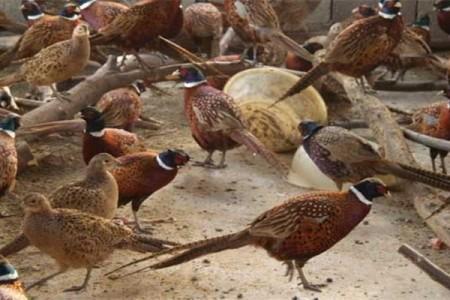 雉鸡养殖与育肥要点