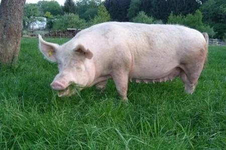 妊娠母猪限饲不当会给母猪带来什么危害?