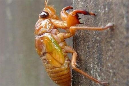 金蝉的批发价是多少?金蝉养殖前景如何?