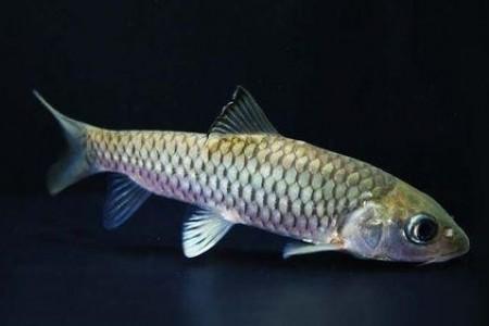 军鱼的市场价格是多少?军鱼和草鱼有什么区别?