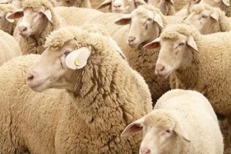 如何选择绵羊的剪毛时间,剪毛时应该注意什么
