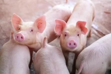 山东:2021年,生猪产能将恢复到5000万头左右