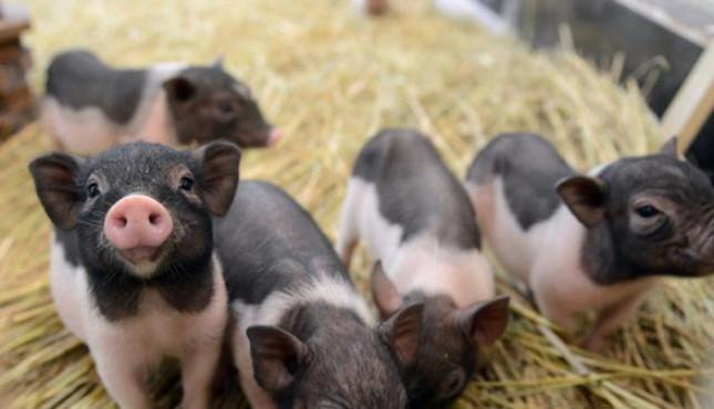 为什么兽医总是推荐猪腹泻口服补液盐?如何更好地使用补液盐