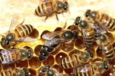 好的蜂王是怎么定义的?如何挑选一只好的蜂王?