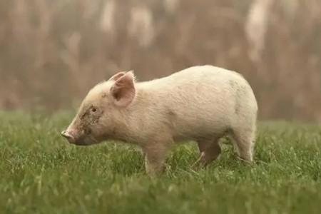 知道怎么用盐治疗猪鼻炎,脓肿,消化不良吗?