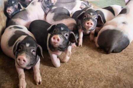 产销差近280万吨,猪肉价格将继续保持高位