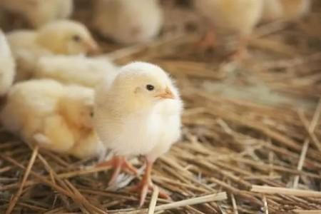 如何获得高质量的小鸡