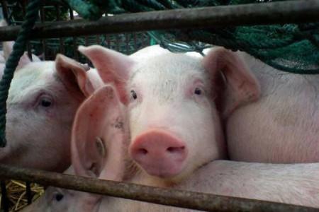 全国生猪供应形势正在好转,生猪价格可能再次降温