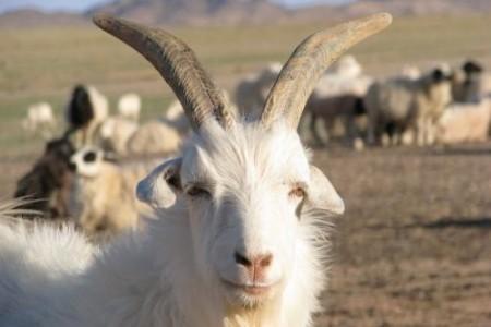 如何育肥绒山羊?育肥绒山羊