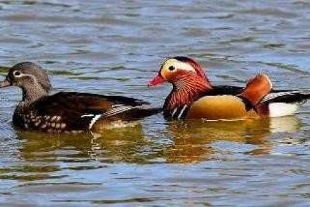 鸳鸯养殖有哪些注意事项?鸳鸯鸭养殖前景如何?