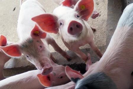 生猪价格继续承压。4月份生猪企业数据较上月有所下降