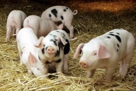 猪为什么那么容易生病,原因是什么?