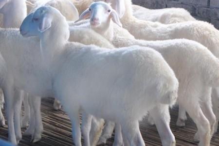 湖羊的饲养是有技巧的