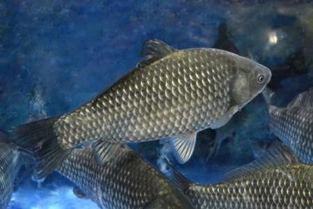 鲫鱼养殖有什么要求?鲫鱼养殖需要什么食物?