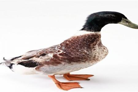雏鸭繁殖要点