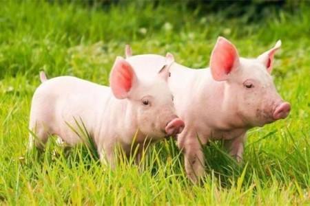惊讶!猪巨头每月破300万头猪,猪肉进口创历史新高,猪价跌破10元!真的不缺肉吗?