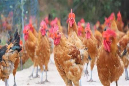 森林下面用什么围网养鸡