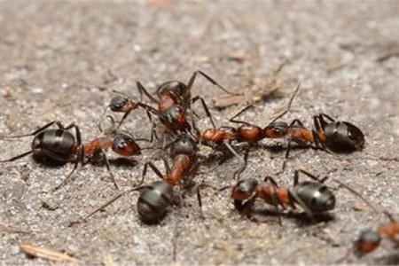 一种饲养蚂蚁的拟黑多刺蚁的繁殖方法