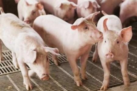 猪场常用的七种母猪诱导措施