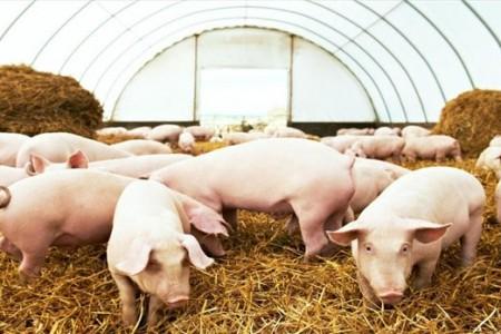 简要分析猪呼吸道疾病的十种传染病的简单识别和预防