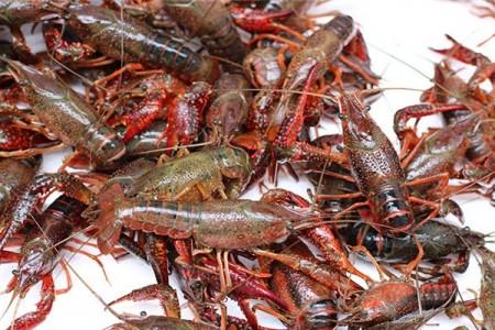 龙虾养殖人工繁殖