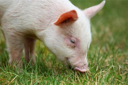 田东规模化养猪提高质量和效率