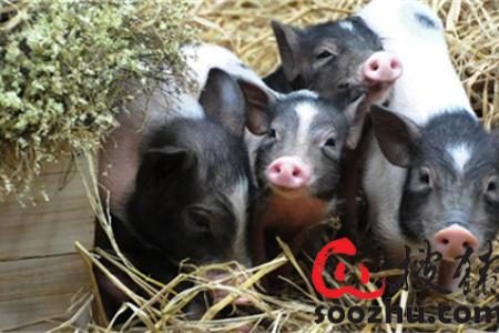 我养猪场的疫苗不管用。怎么了?