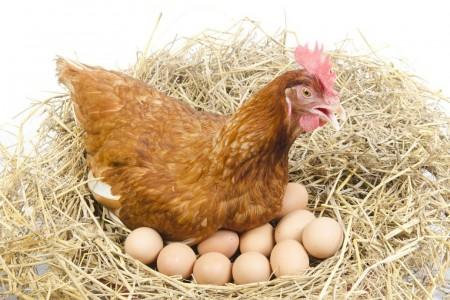 高成本下蛋鸡养殖户的生存