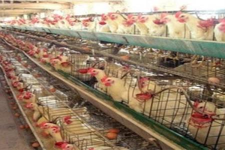 蛋鸡饲料需要在春季调整
